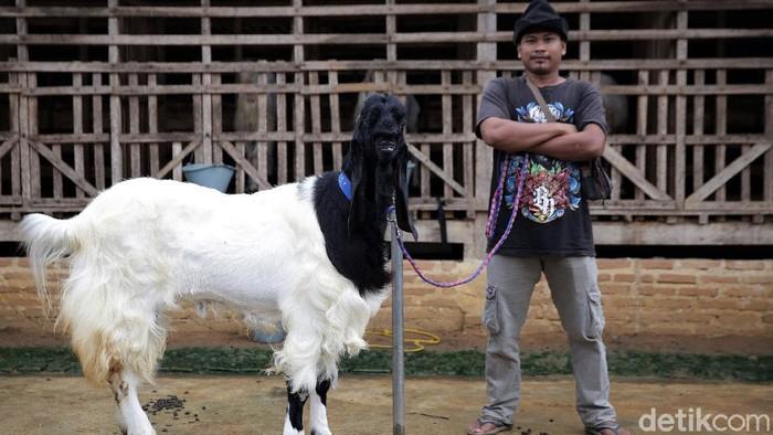 Beternak kambing hias bisa jadi pilihan usaha yang menjanjikan. Seperti peternak di Lampung Tengah ini yang mampu raup cuan puluhan juta dari kambing hias.