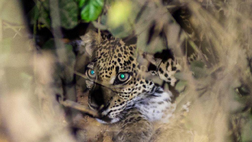 Momen Macan Tutul Jawa Tampak di Alas Purwo Banyuwangi, Ada 26 Ekor