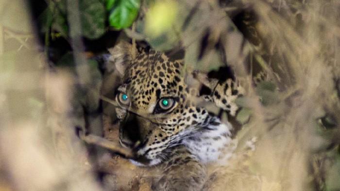 Momen Macan Tutul Jawa tampak di Alas Purwo Banyuwangi