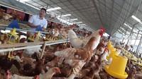 Bisnis Peternakan Ayam Nggak Bisa Sembarangan, Baca Tipsnya di Sini