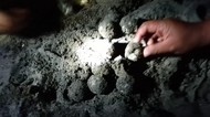 Terancam Abrasi, 100 Telur Penyu Tempayan Dibawa ke Penangkaran Pangandaran