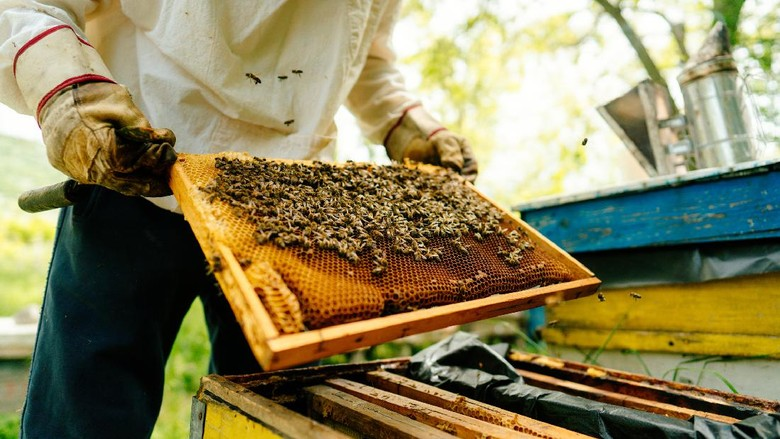Photo of a beekeeper checking frames with bees from the beehive