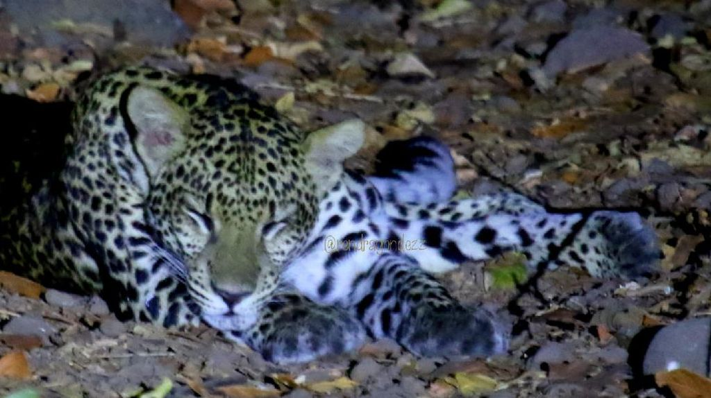 Cara Fotografer Cegah Kepunahan Macan Tutul dari Balik Lensa Kamera