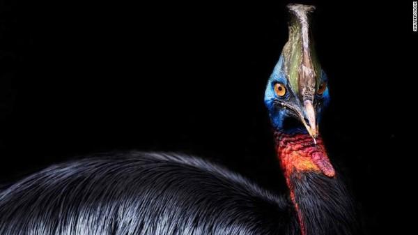 Burung kasuari jadi peliharaan manusia pada 18.000 tahun yang lalu merujuk kepada penelitianterbaru yang diterbitkan dalam jurnal ilmiah PNAS mengungkapkannya. Bandingkan dengan ayamyang dipeliharatidak lebih awal dari 9.500 tahun yang lalu.