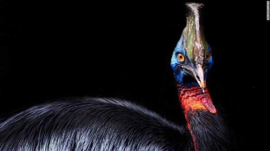 Burung Ganas Peliharaan Manusia Purba Ternyata Ada di Indonesia!