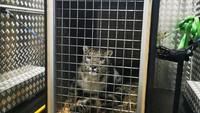 Garuda Indonesia Angkut Macan Tutul Salju dari Belanda, Dibawa ke Malang