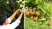 Unik! Petani Ini Berhasil Menanam Mangga Apel yang Rasanya seperti Pisang