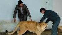 Kisah Sedih Marjan, Singa Afghanistan yang Menderita Akibat Perang