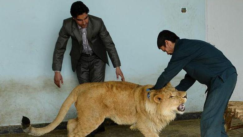 Singa bernama Marjan di Kabul Zoo