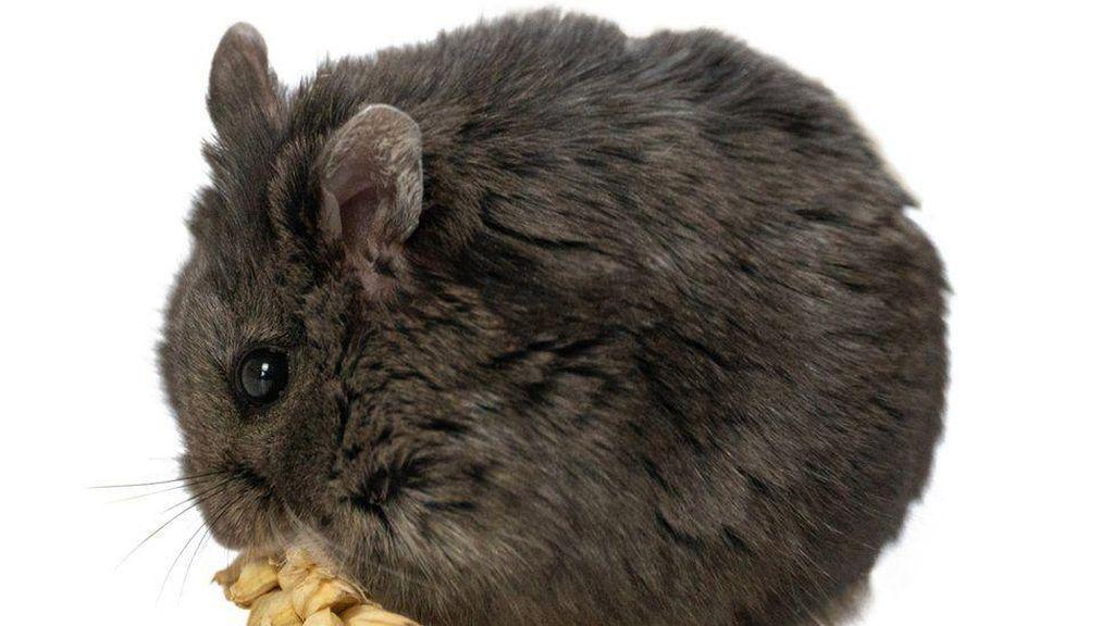 Bukan Sulap Bukan Sihir: Ada Hamster Main Kripto, Lebih Cuan dari Manusia