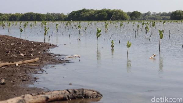 Perlahan, penanaman mangrove kembali dilakukan. Harapannya bisa menyelamatkan pantai tersebut(Randy/detikTravel)