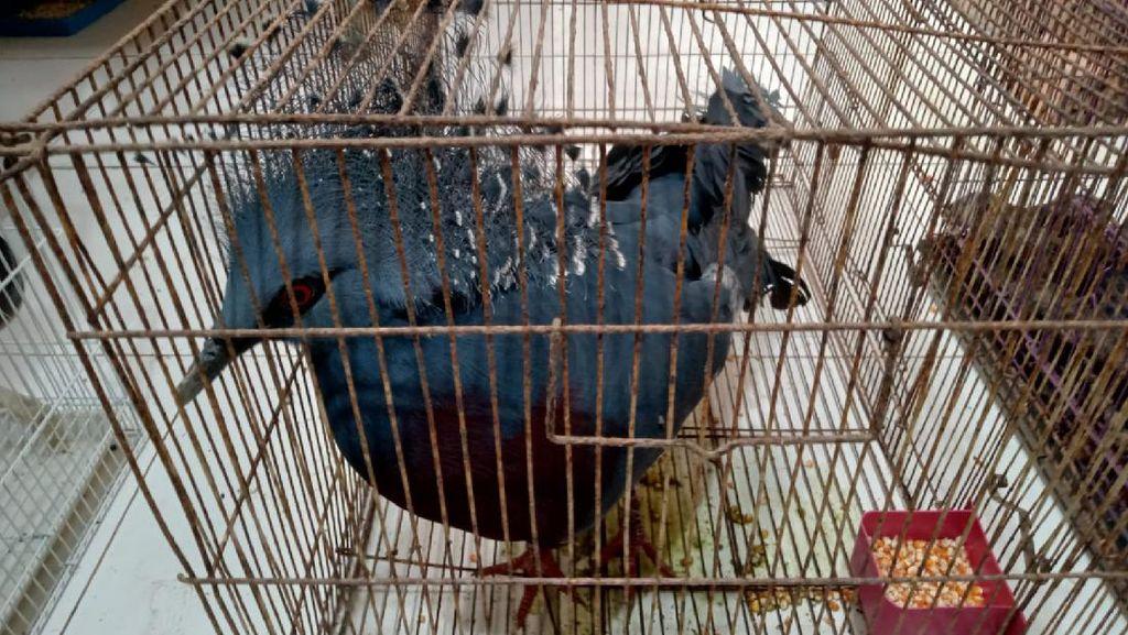 117 Satwa Dilindungi Gagal Diselundupkan ke LN: Ayam Papua-Kadal Panama