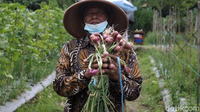 Balai Pengkajian Teknologi Pertanian (BPTP) Yogyakarta bekerja sama dengan Kelompok Tani Sari Manggala melakukan panen benih bawang merah varietas Lokananta.