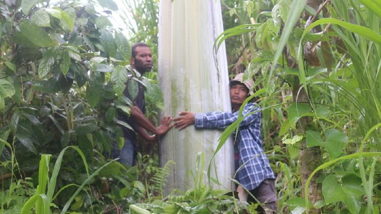 Pisang raksasa Papua atau pisang Musa Ingens ditemukan tumbuh alami di tepi Jalan Raya Fakfak-Kokas Kilometer18, Kaisu, Kampung Mananmur, Distrik Kayauni, Fakfak, Papua Barat.