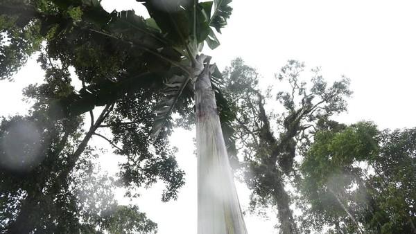 Pisang Musa Ingens tumbuh di daerah dengan ketinggian 1.000 -1.700 m dpl. Tinggi pohon pisang ini bisa mencapai 10-15 meter. Bahkan di hutan Fakfak, pisang ini bisa setinggi 25 meter.