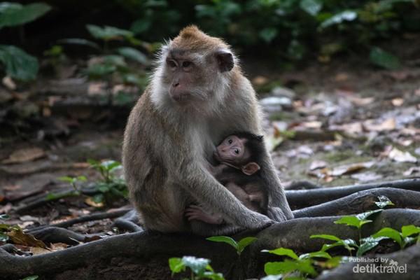 Betina sedang menyusui bayi Monyet Ekor Panjang