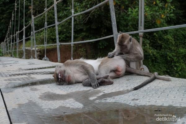 Monyet Ekor Panjang melakukan Grooming di Jembatan Sungai Cidurian