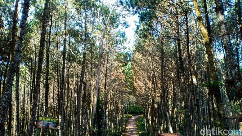 Hutan Pinus Giri Wening