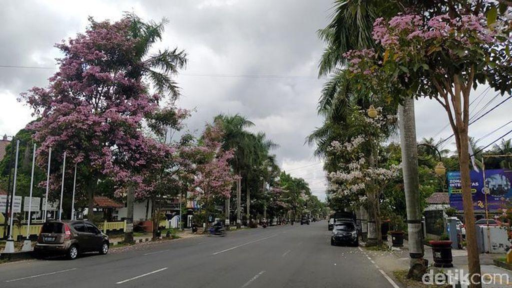 Cantiknya Bunga Tabebuya yang Bermekaran di Jalanan Magelang