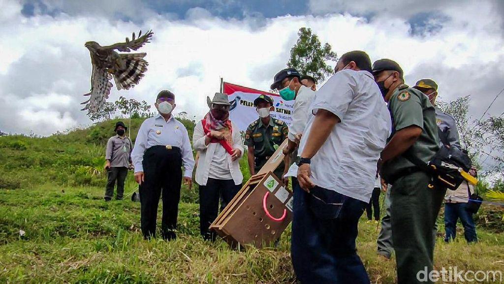 Momen Elang Brontok-Elang Alap Jambul Dilepasliarkan di Kulon Progo