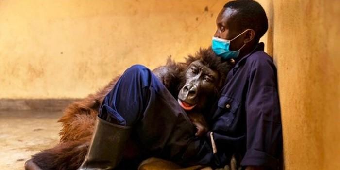 Gorila Ndakasi dan penyelamatnya