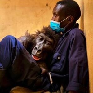Kisah Haru Gorila Viral yang Meninggal di Pelukan Pria Penyelamatnya
