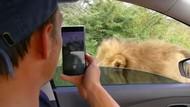 Menantang Maut, Turis Ini Buka Kaca Mobil Biar Bisa Tatap Mata Singa