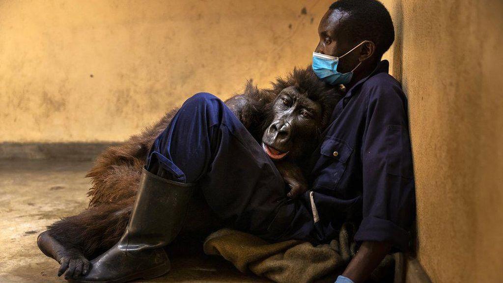 Ndakasi, Gorila yang Terkenal Usai Foto Selfie Mati di Pelukan Penjaganya