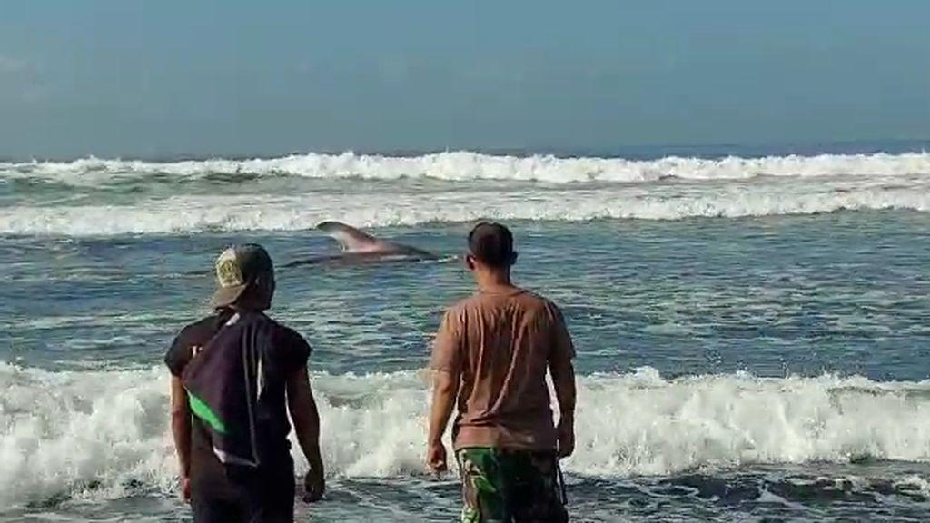 Terdampar 2 Jam di Pantai Drajid Lumajang, Hiu Tutul Berhasil Kembali ke Laut