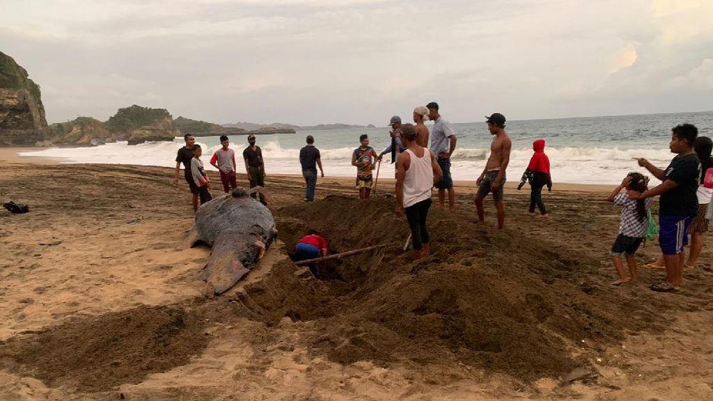 Bangkai Paus Ditemukan di Pantai Jebring Blitar