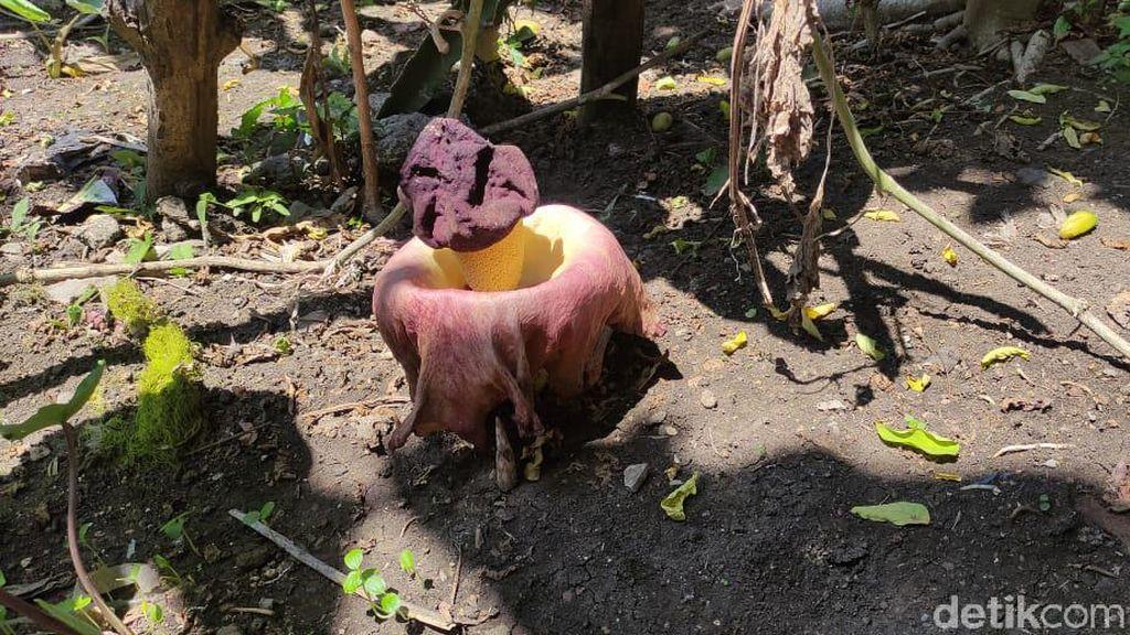 Bunga Bangkai di Lamongan Jenis Suweg, Bukan Rafflesia Arnoldii