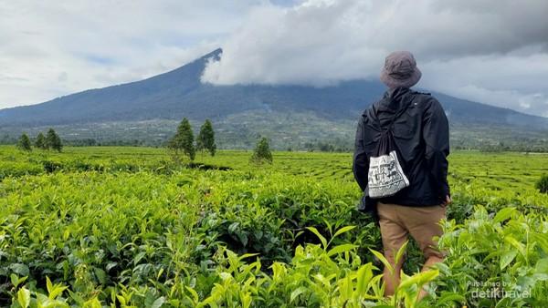 Tidak jauh dari cafe sahabat traveler bisa menikmati indahnya perkebunan teh yg luas dengan view gunung Kerinci
