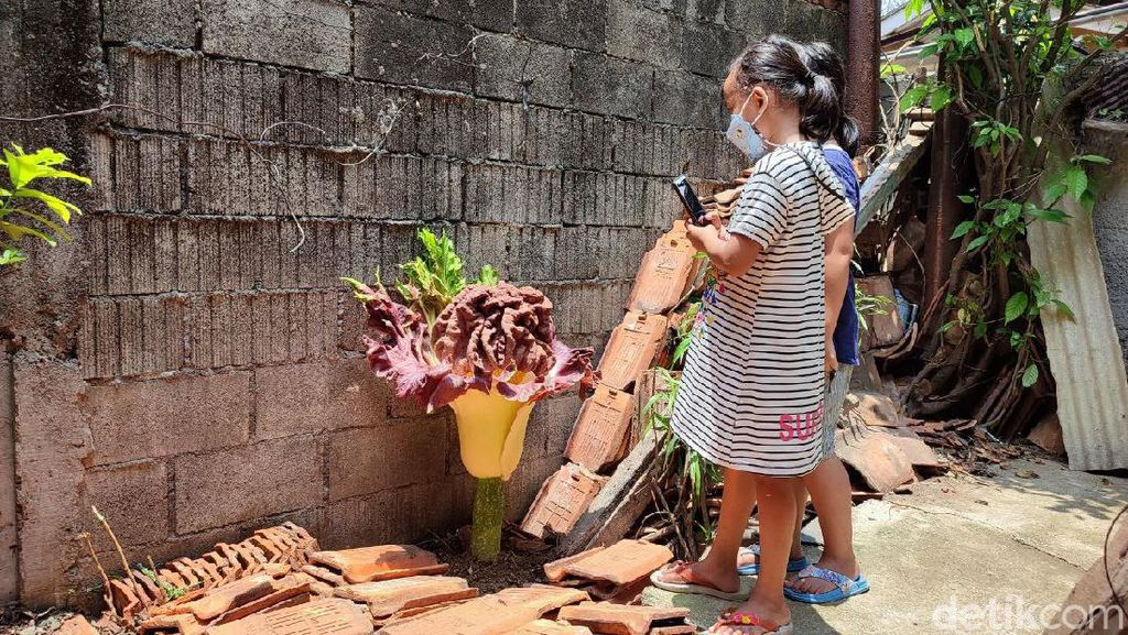 Bunga Bangkai di Cilandak Beda dengan Rafflesia Arnoldii, Ini Penjelasannya