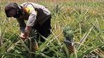 Manisnya Bisnis Nanas Bagong yang Ditanam Polwan Bantul