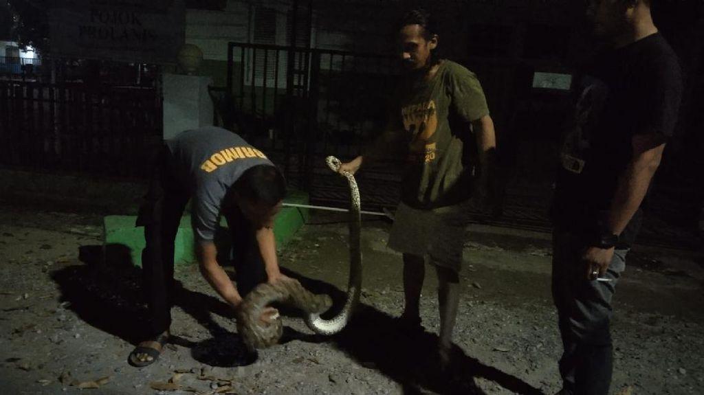 Viral Aksi Anggota Brimob Tangkap Ular Piton 5 Meter di Bone