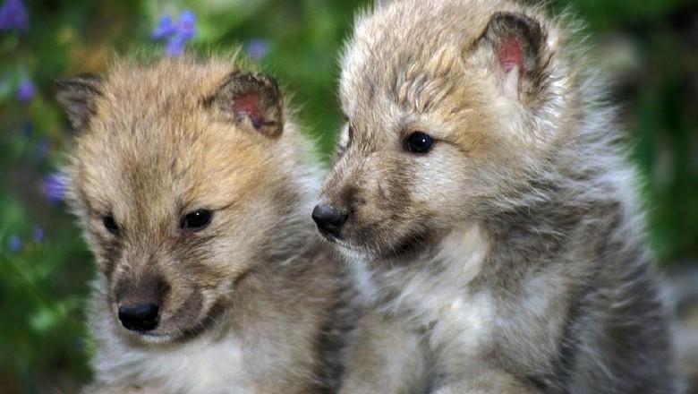 Anak serigala