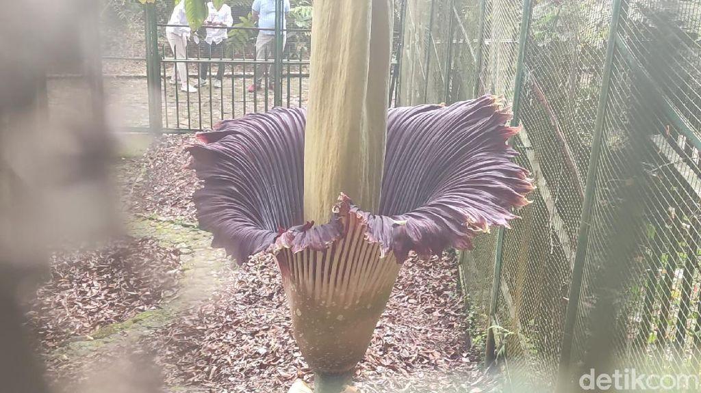 Momen Langka! Bunga Bangkai Mekar di Kebun Raya Cibodas
