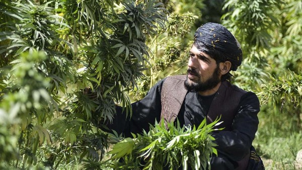 Sama seperti opium, sebagian besar penanaman ganja berada di selatan Afghanistan. Lebih dari dua pertiga, atau sekitar 67 persen, petani ganja juga menanam opium. (AFP/Javed Tanveer)