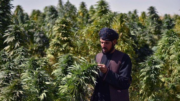 Para warga Afghanistan masih mengandalkan ladang ganja sebagai mata pencaharian mereka. Tapi kini Taliban sudah mewacanakan larangan barang haram tersebut. (AFP/Javed Tanveer)