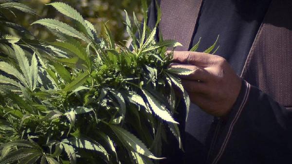 Kantor PBB untuk Masalah Narkoba dan Kriminal (UNODC) melaporkan bahwa pada 2021, Afghanistan berada di peringkat kedua setelah Maroko sebagai daerah asal peredaran cannabis ke seluruh dunia dalam rentang 2015-2019. (AFP/Javed Tanveer)