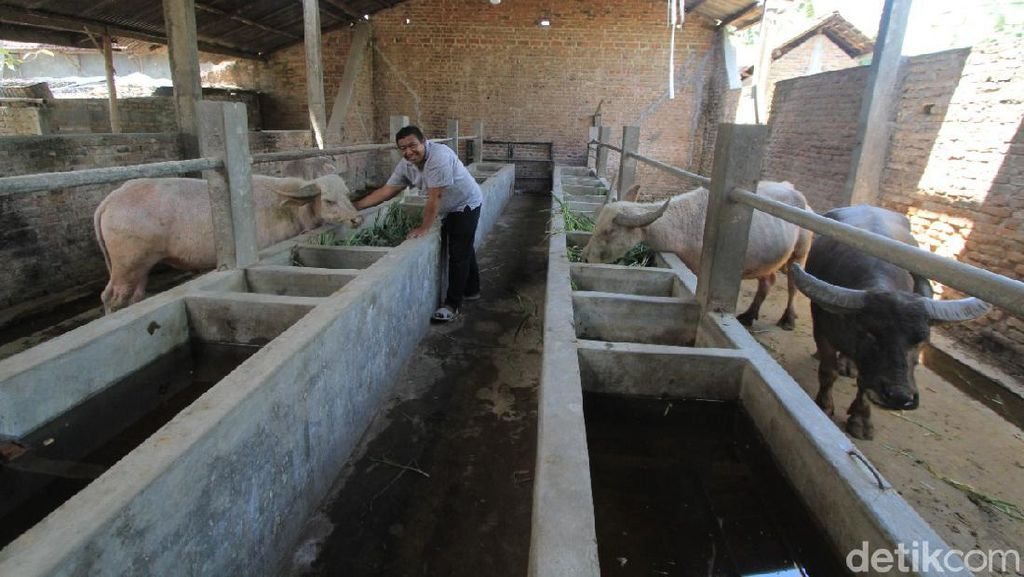 Kebo Bule di Ponorogo Bakal Dibuatkan Kandang di Taman Wengker