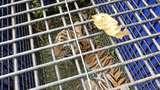 Seekor Harimau di Merangin Jambi Masuk Perangkap, Diamankan BKSDA