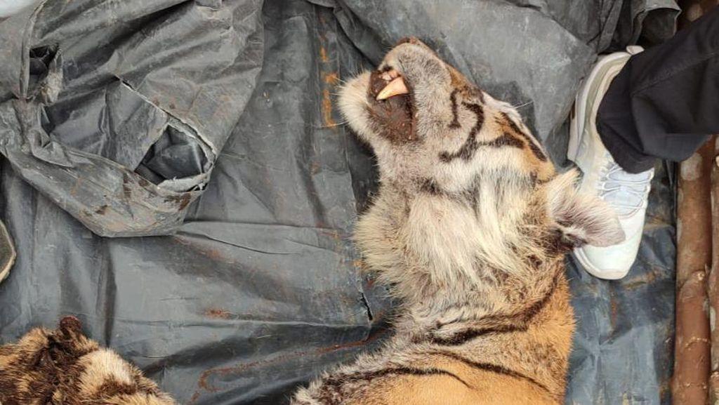 Warga Bengkalis Riau Temukan Harimau Sumatera Mati Kena Jerat