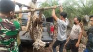 Penampakan Harimau Sumatera Betina yang Mati Kena Jerat di Riau