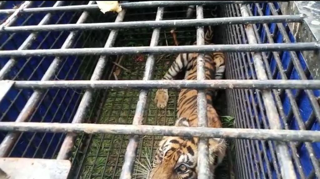 Penampakan Harimau yang Diduga Tewaskan 2 Warga di Jambi