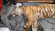Kasihan! Harimau Sumatera Tewas Terjerat