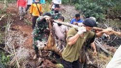 Tragis! Harimau Sumatera Mati Terjerat