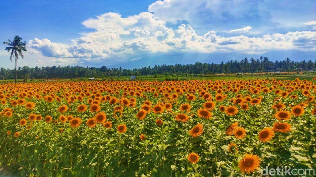 Peluang Agribisnis Bunga Matahari, Jadi Spot Instagramable di Banyuwangi