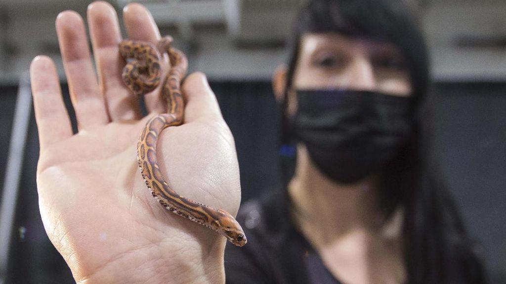 Melihat Pameran Reptil di Kanada