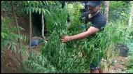 Polisi Ungkap Ladang Ganja di Tasikmalaya, Pemilik Lahan Diamankan